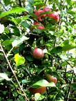 Clusters_of_apples_3